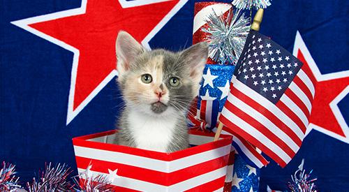 Patriotic kitten